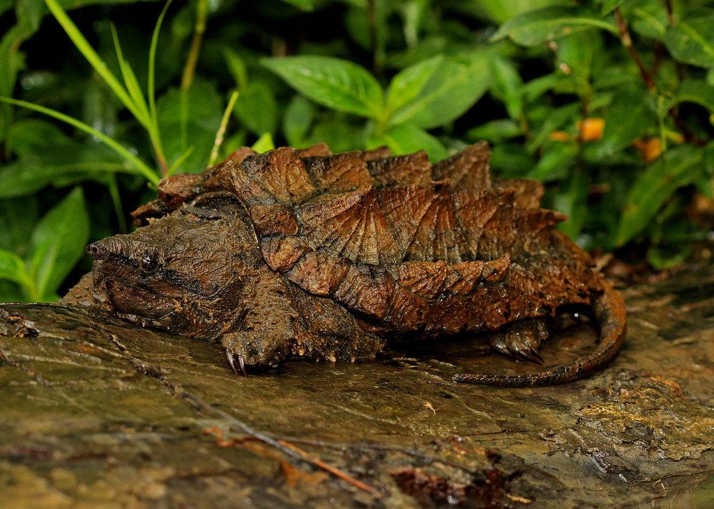 Tartaruga alligatore nel suo habitat naturaòe