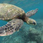 Tartaruga marina in acqua