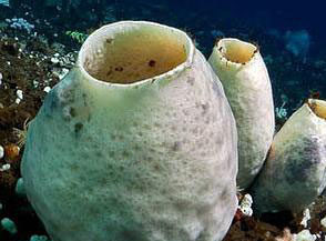 Spugna antartica