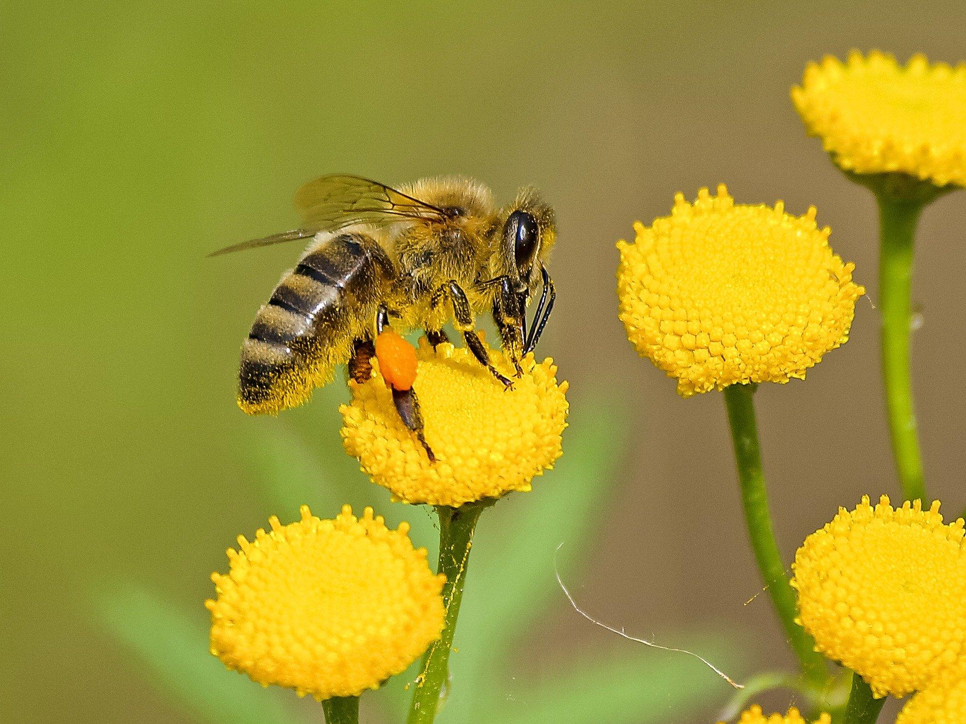 Ape che si ciba di polline