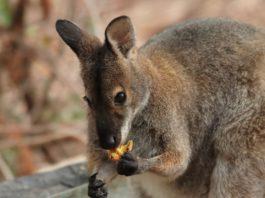 Canguro che mangia un frutto