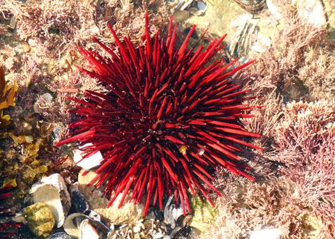Riccio rosso gigante