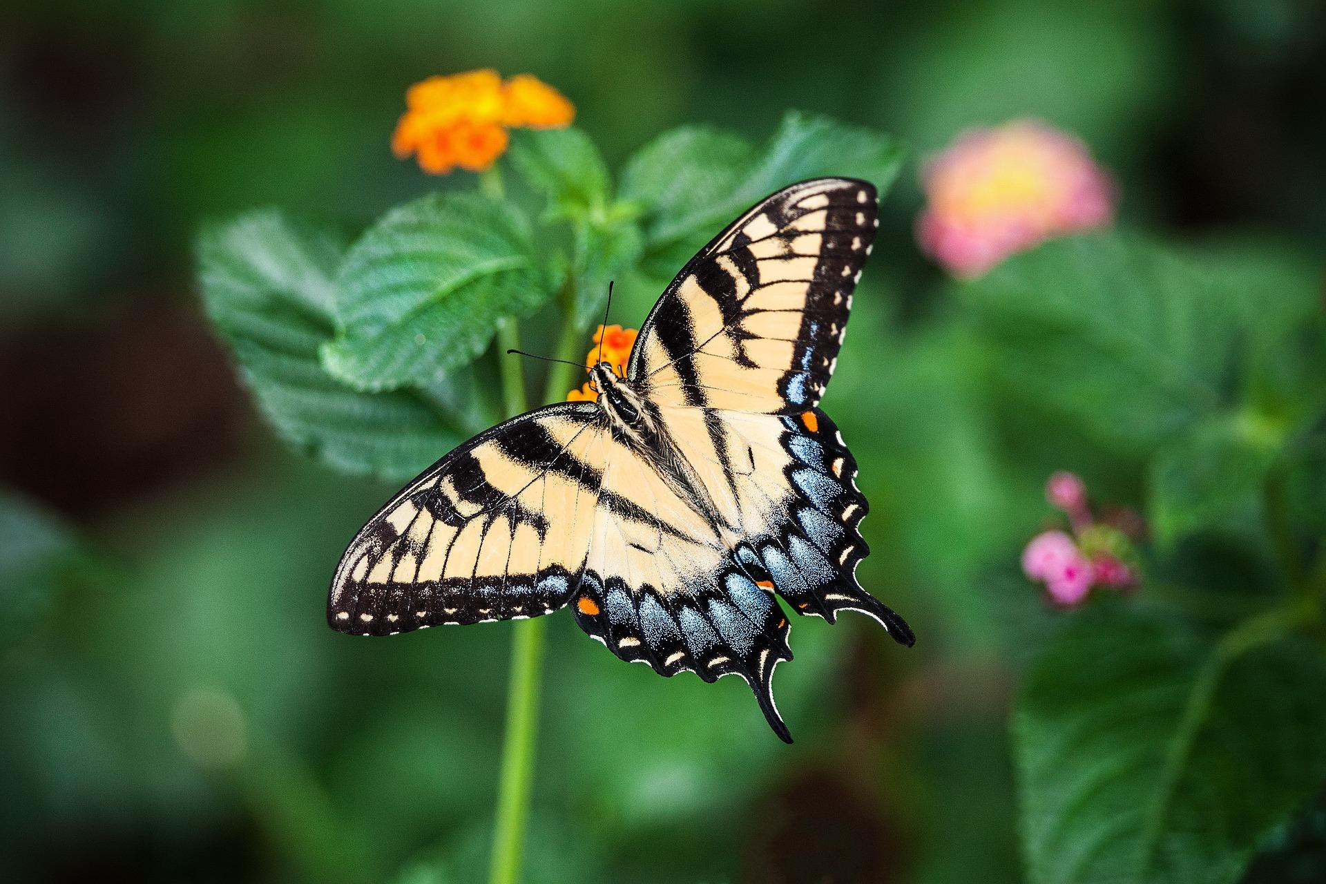 Farfalla - Papilio alexanor