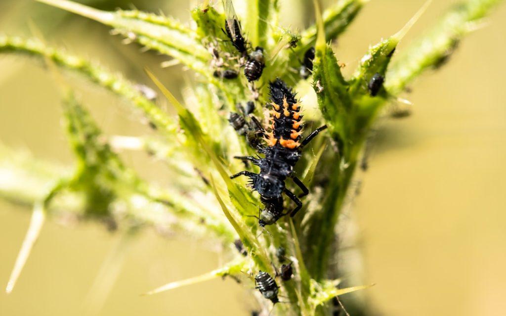Larva di coccinella che mangia afidi