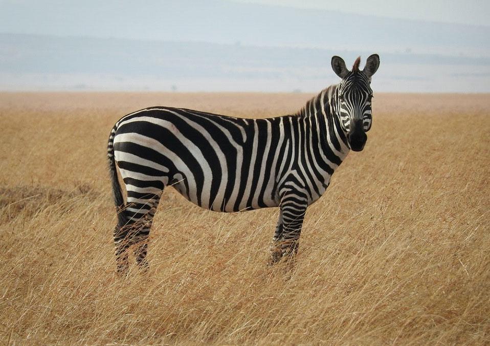 La zebra e il mistero delle sue strisce