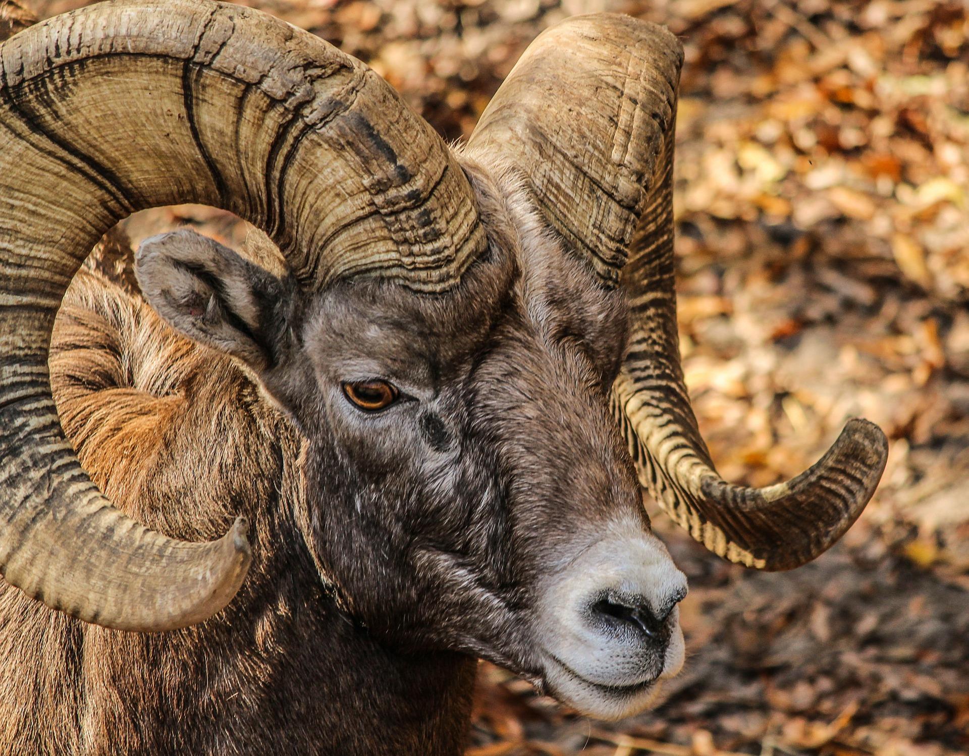 Animali con le corna