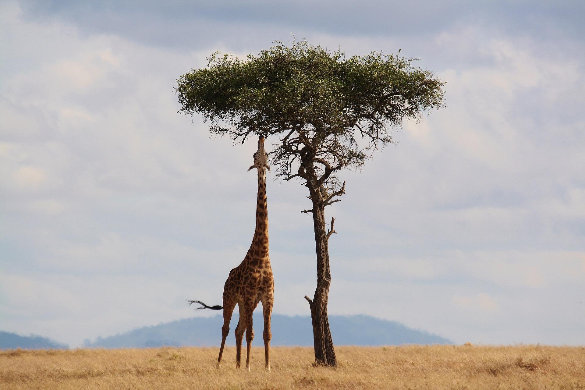 Il collo lungo della giraffa