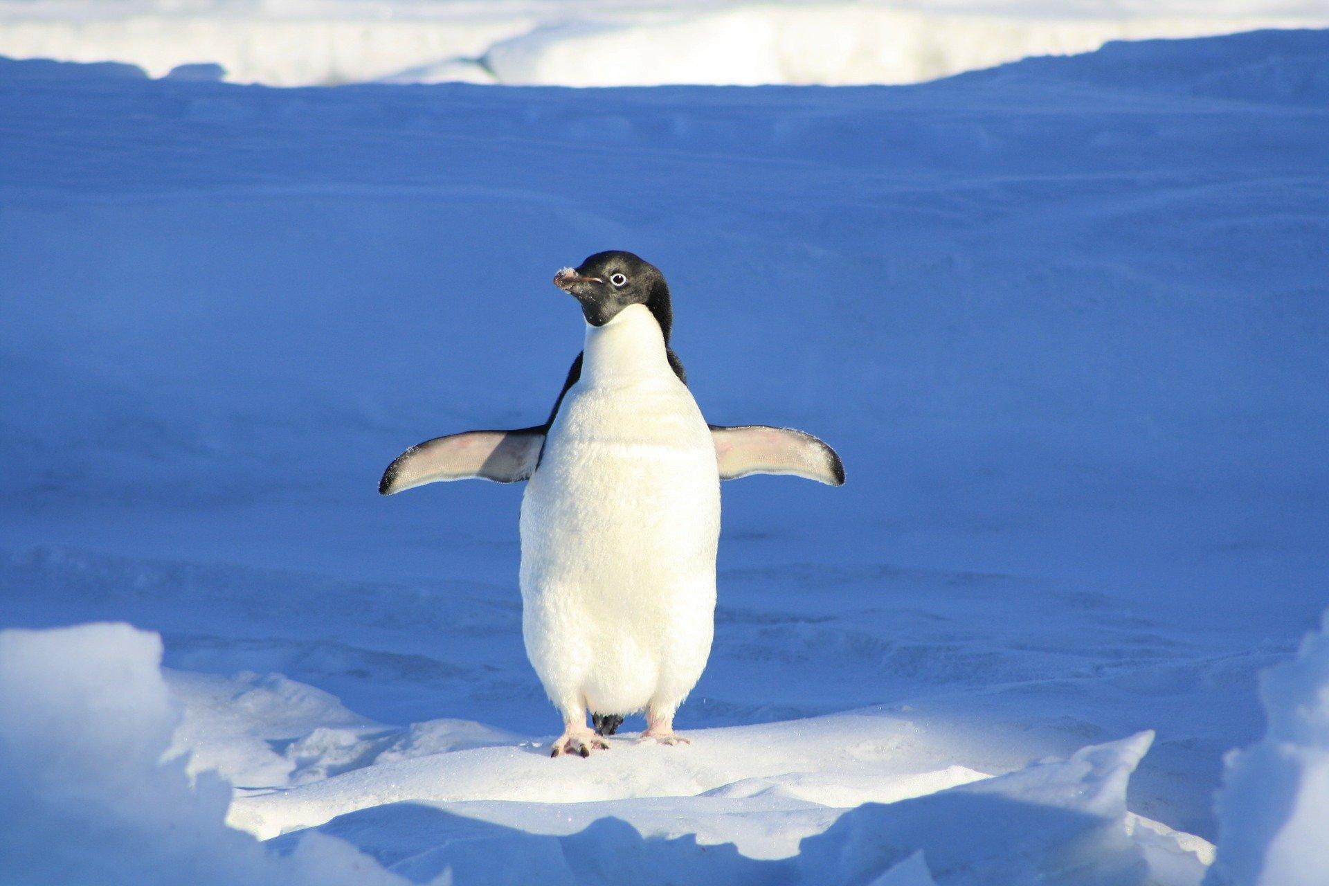 Perché i pinguini non volano?