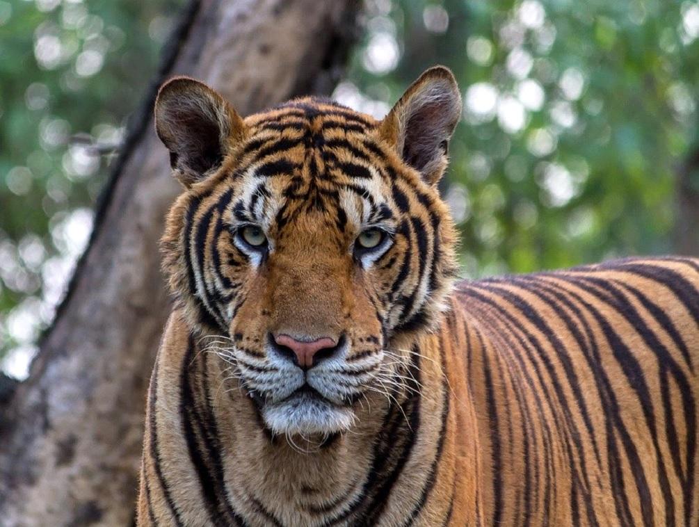 La tigre in via d'estinzione