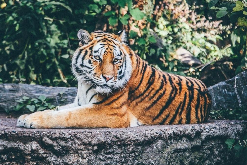 La tigre un gattone un po' cresciuto