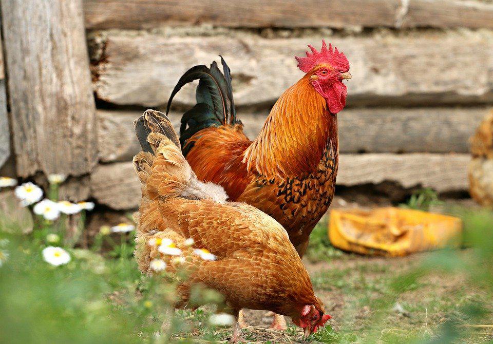 Alimentazione galline