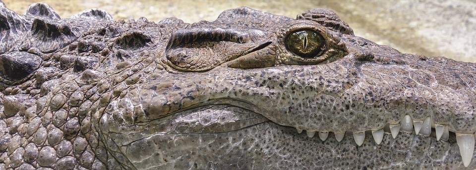 Coccodrillo - Rettile