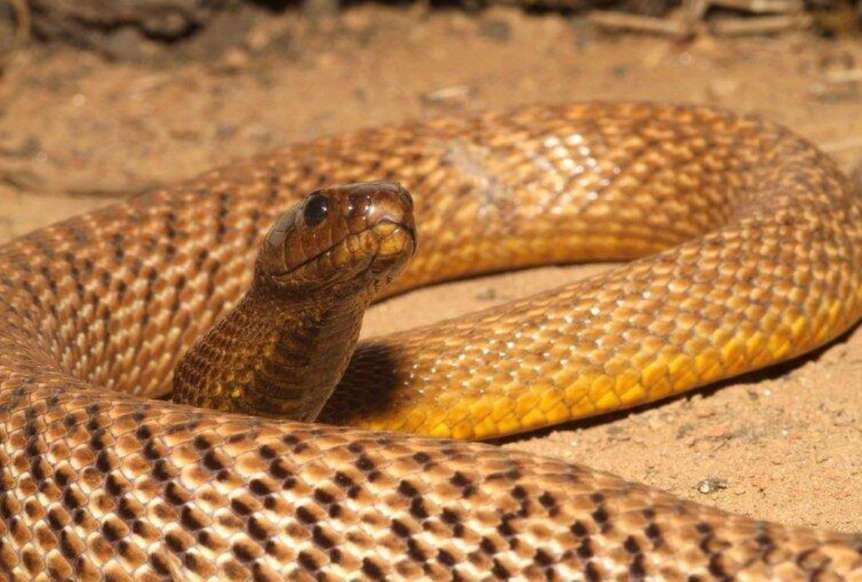 Taipan occidentale